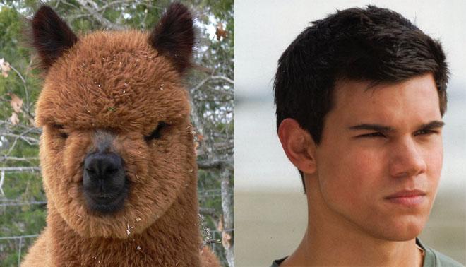 Alpaca Taylor